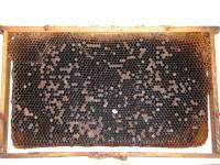 Mor včelího plodu